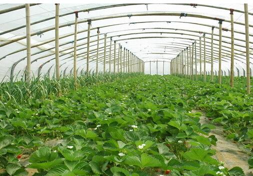 草莓大棚种植基地